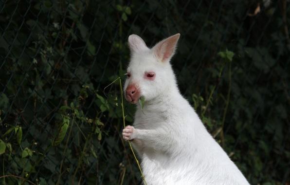 Picture leaf, chews, kangaroo