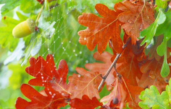 Picture autumn, leaves, web, acorn, oak