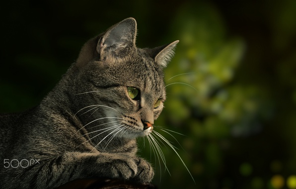 Picture cat, cat, look, Kote, green background