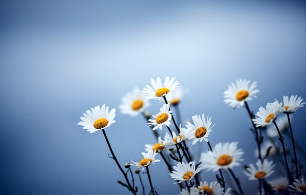 Picture flowers, blue, background, chamomile