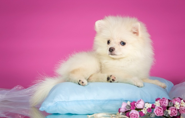 Picture white, flowers, puppy, pillow, wreath, Spitz