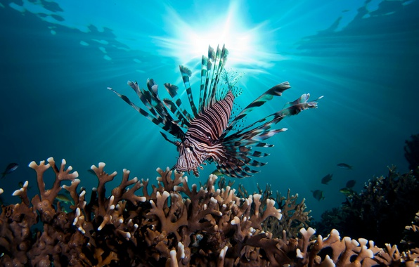 Picture sea, water, light, fish, the ocean, under water, fish, fish lion