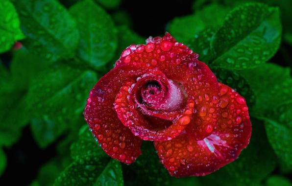 Picture drops, rain, rose, Bud