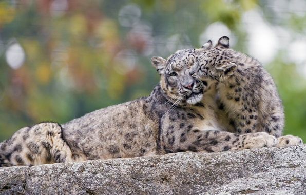 Picture the game, predator, family, pair, weasel, IRBIS, snow leopard, cub, care, wild cat, zoo, snow …