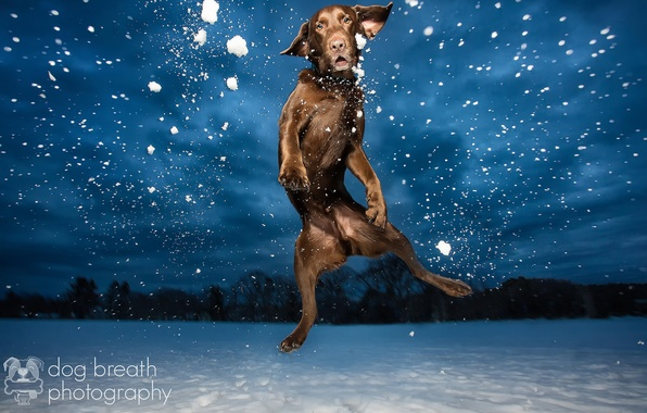 Picture light, snow, night, dog, the evening, Labrador, in the air, chocolate, Retriever