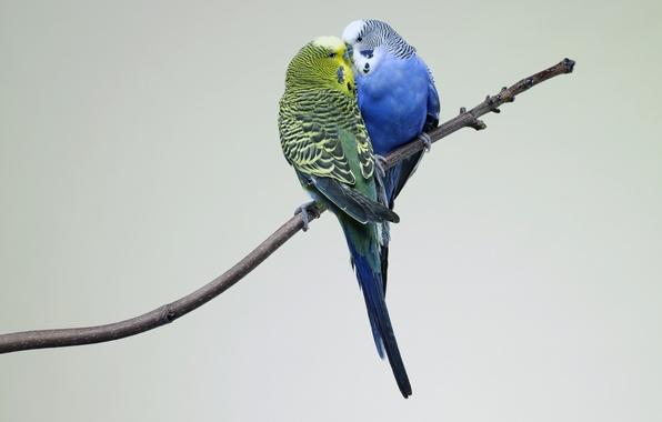 Picture Kiss, Love, Birds, Branch, Parrots