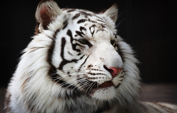 Picture face, predator, fur, white tiger, wild cat