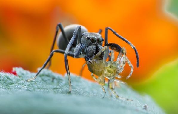 Picture spider, wallpaper, legs, eyes, food, macro, orange, animal, leaf, wildlife, insect, catch, Konoha, Bagheera, spider …