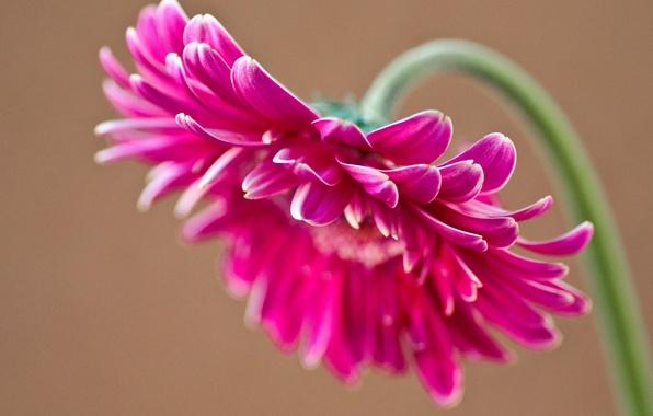 Picture flower, pink, petals, gerbera