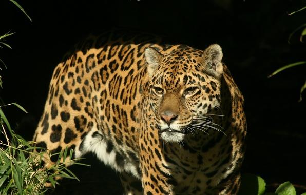 Picture look, face, predator, Jaguar, hunting