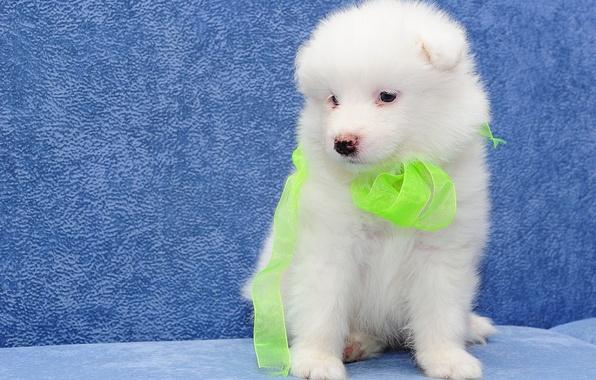 Picture dog, puppy, Samoyed