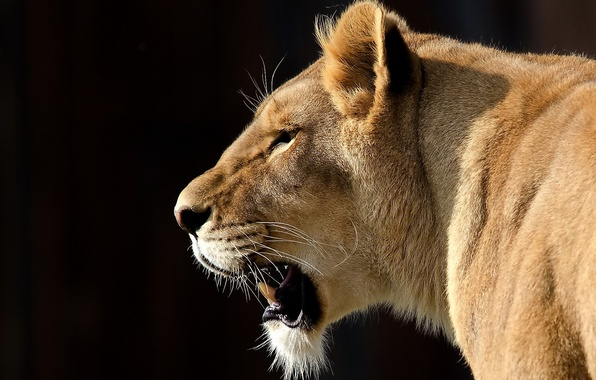 Picture mustache, look, face, Leo, lioness, big cat, the dark background, panthera leo