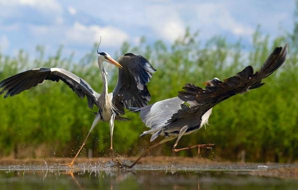 Picture birds, dancing, herons