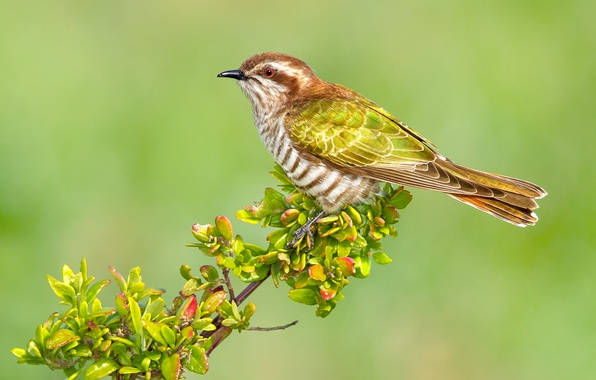 Photo wallpaper leaves, bird, Australia, branch, red-tailed bronze cuckoo
