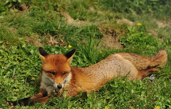Picture summer, grass, face, stay, Fox, red, Fox
