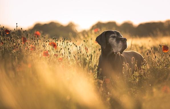 Picture summer, Maki, dog