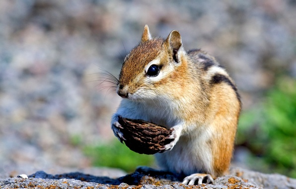 Picture Chipmunk, shell, rodent