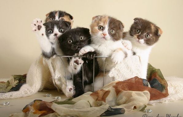 Picture cats, kittens, the British