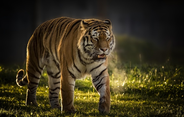 Picture tiger, background, predator, wild cat, handsome