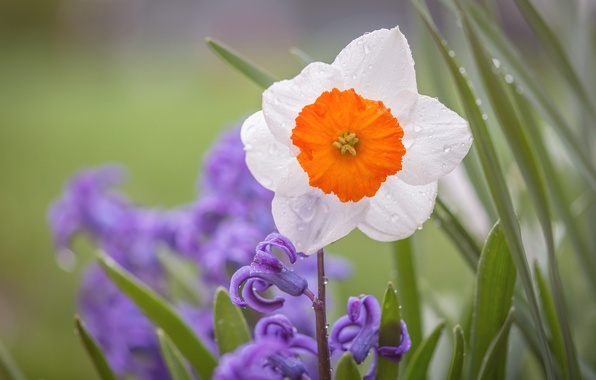 Picture Rosa, Narcissus, hyacinth