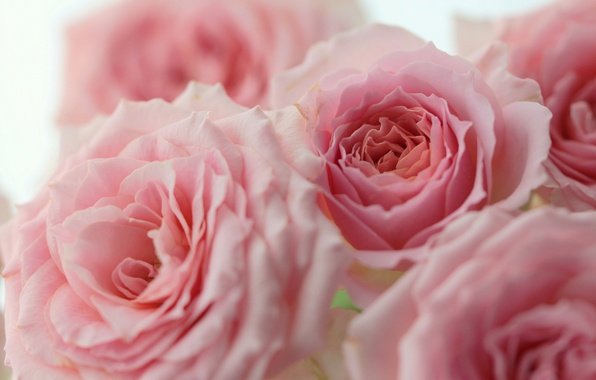 Picture macro, roses, pink, buds