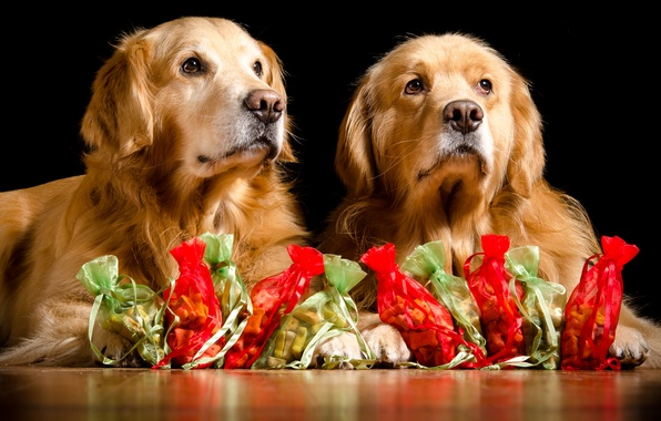 Picture dogs, pair, gifts, Golden Retriever, Golden Retriever