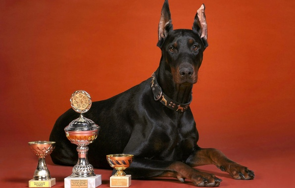 Picture dog, red background, Cup, breed, Doberman, cups