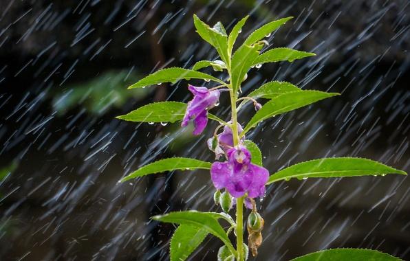 Picture flower, leaves, drops, macro, rain, plant