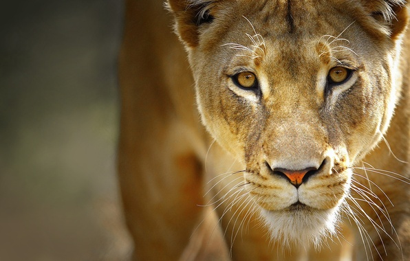 Picture eyes, mustache, face, predator, Leo, lioness