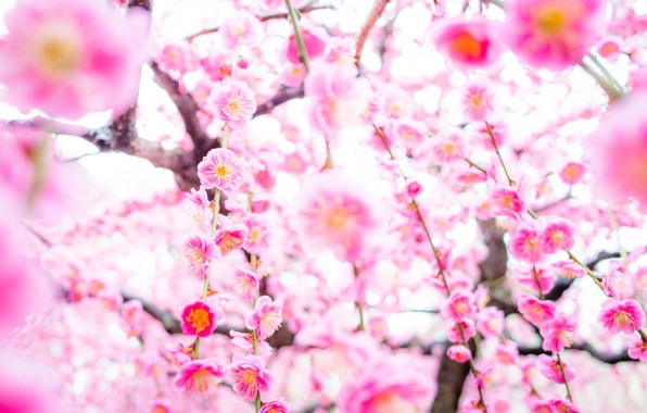 Picture tree, spring, Sakura, flowering