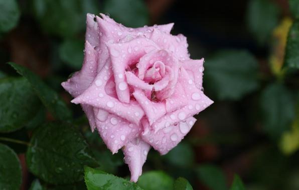 Picture flower, water, drops, macro, Rosa, rose, petals, Bud, rose