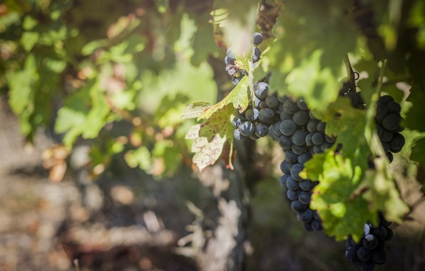 Picture light, blue, berries, foliage, blur, fruit, grapes, bunch, vineyard, green