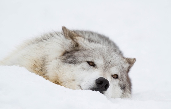 Picture winter, face, snow, stay, wolf