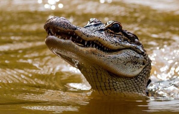 Picture face, water, head, crocodile, teeth, alligator