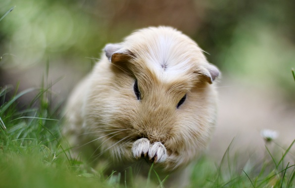 Picture grass, photo, animal, color, beige, sea, pig, rodent