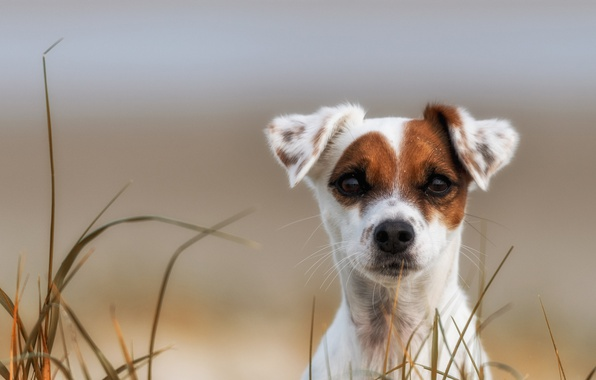 Picture grass, look, dog, puppy, face, The parson Russell Terrier