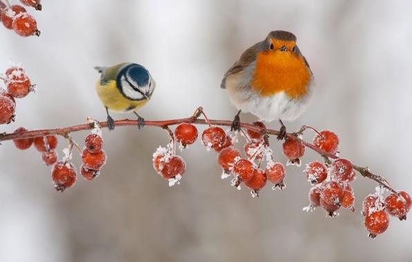 Picture birds, berries, branch, fruit, tit, Robin
