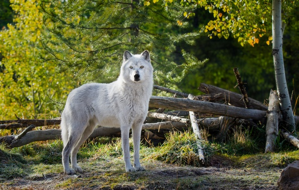 Photo wallpaper white. look, animal, wolf, nature, wolf, trees