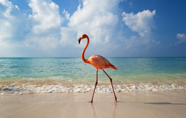 Picture sea, animals, beach, water, clouds, landscape, birds, nature, Flamingo, animals