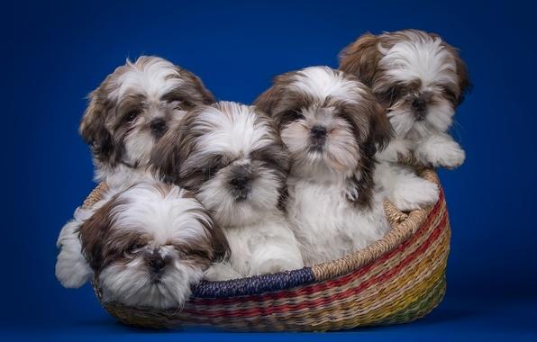 Picture basket, puppies, quintet, Shih Tzu