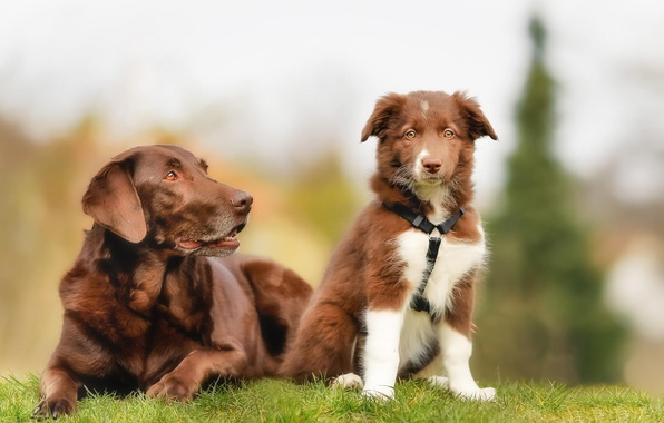 Picture dogs, puppy, Labrador, brown, the border collie