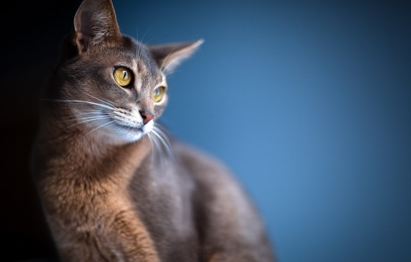 Picture cat, eyes, look, background, blur, ears
