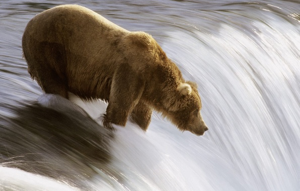 Picture river, fishing, bear