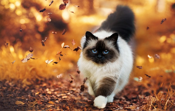 Picture autumn, leaves, Cat, fluffy