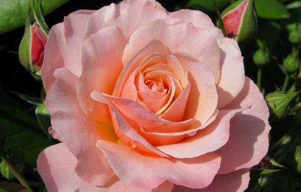 Picture macro, rose, petals, buds