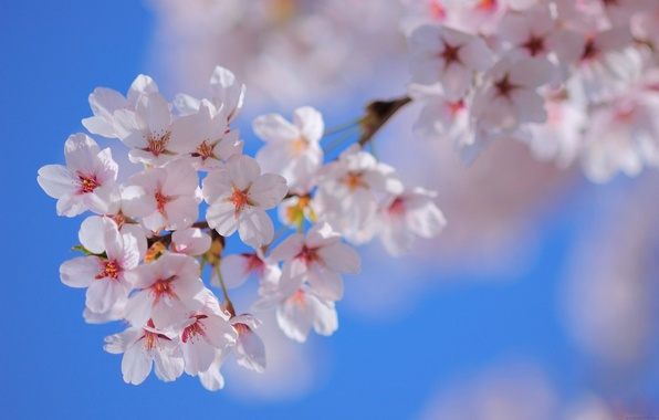 Picture the sky, flowers, nature, tree, branch, spring, petals