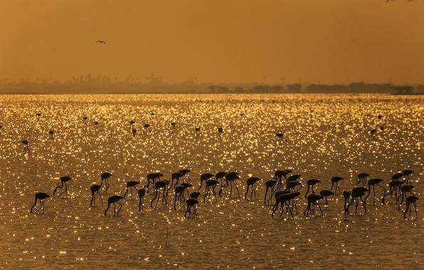 Picture birds, lake, India, Flamingo, Mahesh B Photography, Gold Harvest - Flamingos, Pulicat