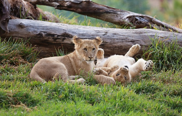 Picture stay, pair, kids, wild cats, the cubs, cubs
