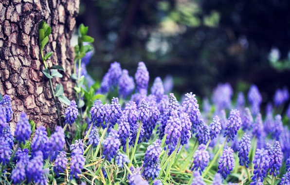 Picture forest, grass, flowers, nature, tree, spring, trunk, bark, blue, bokeh, Grape hyacinth