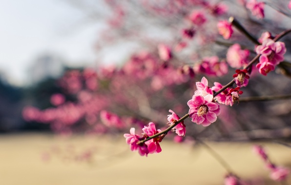 Picture macro, flowers, branches, Park, tree, petals, Japan, blur, pink, drain